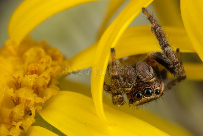 在黄色花的跳跃的蜘蛛 免版税库存照片