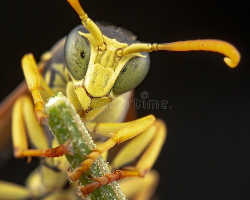 在黄色花的Nezara Viridula 免版税库存照片