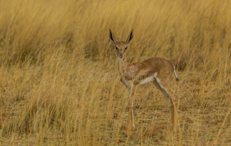 在黄色草的跳羚年轻人 库存图片