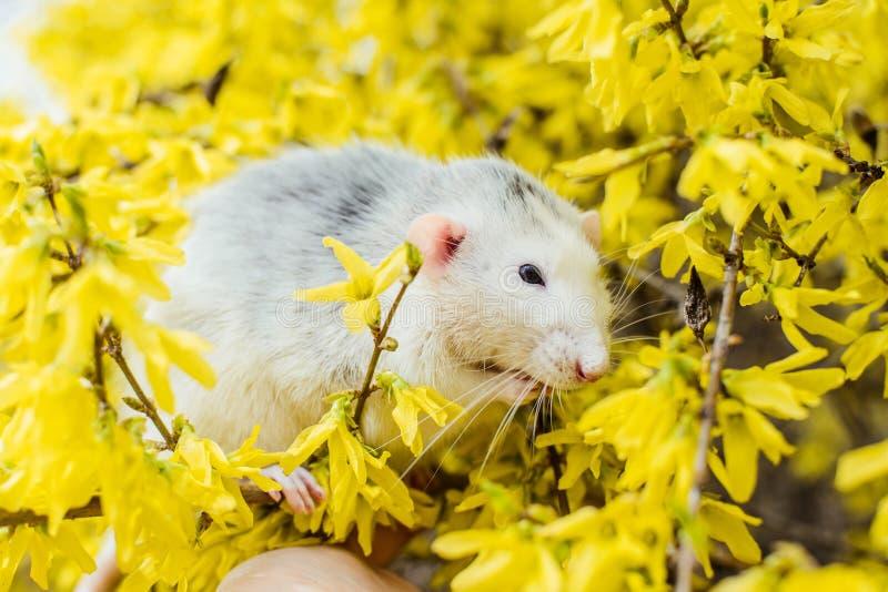 在黄色连翘属植物开花,春节的花梢鼠2020年 库存照片