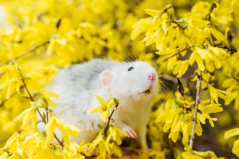 在黄色连翘属植物开花,春节的花梢鼠2020年 库存图片