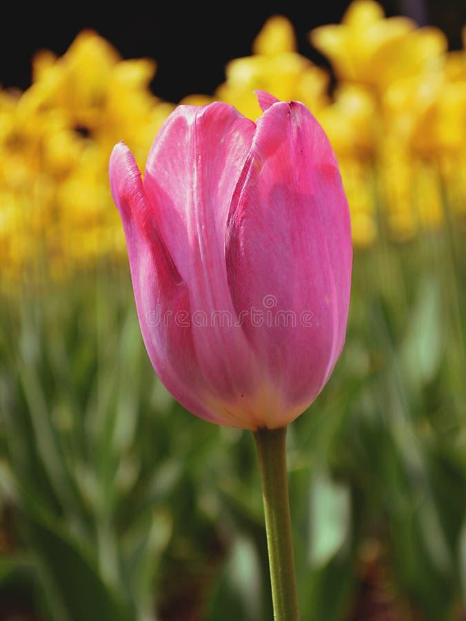 在黄色郁金香背景的桃红色郁金香  免版税库存照片