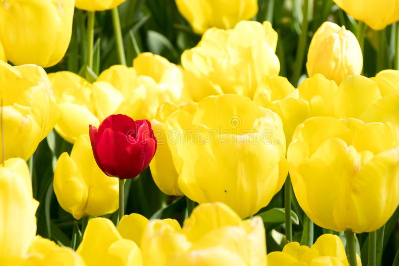 在黄色郁金香花背景(的红色郁金香;变异的概念,不同,领导 库存图片