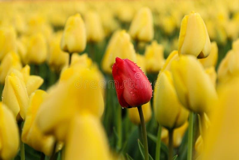在黄色部分之间的红色郁金香 库存图片
