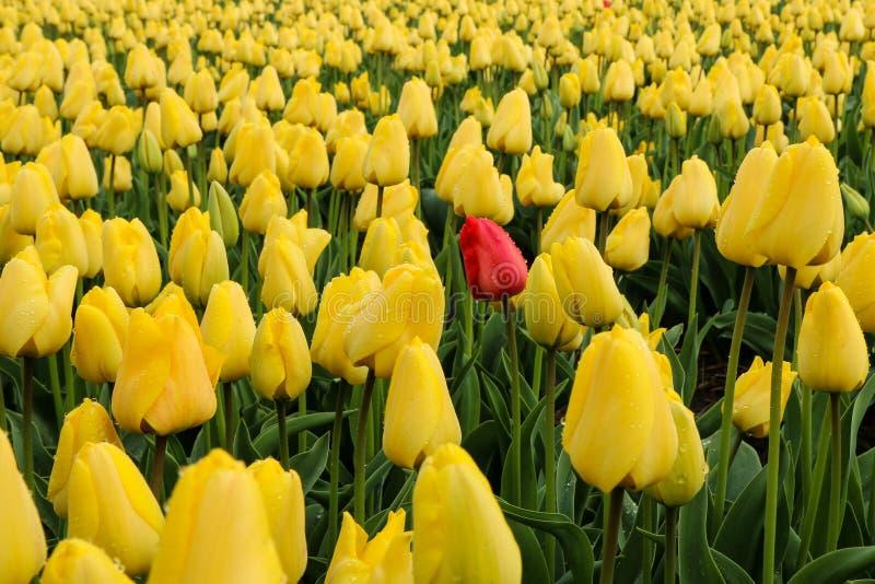 在黄色部分之间的红色郁金香 免版税库存照片