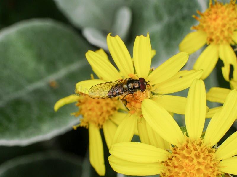 在黄色雏菊花,关闭的Syrphidae Hoverfly昆虫 免版税库存图片