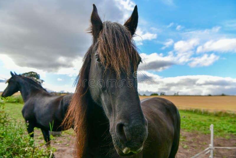 在黄色领域狐狸背景的一匹黑马在苏格兰 图库摄影
