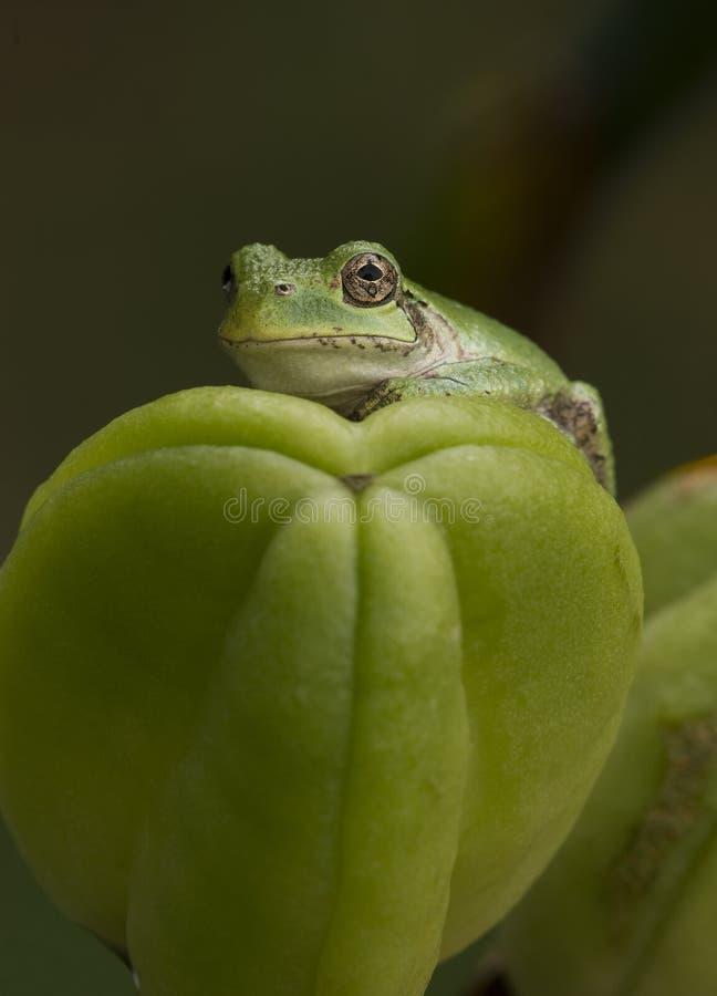 在黄花菜种子胶囊的灰色雨蛙 库存图片