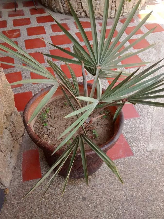 在黏土容器和土气地板的异乎寻常的棕榈 图库摄影