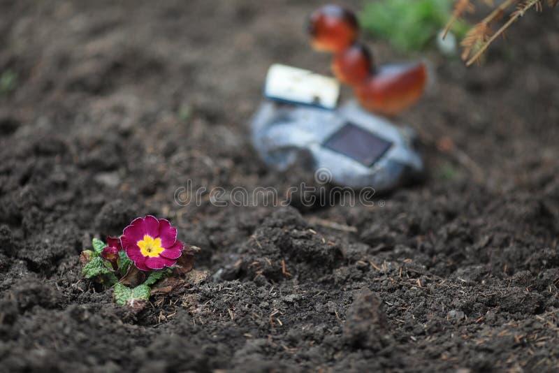 在黑光秃的地球背景的淡紫色花  免版税库存照片