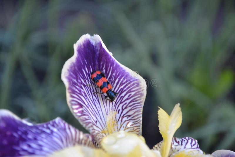 在黑小条的蜂茎在虹膜瓣 免版税库存照片