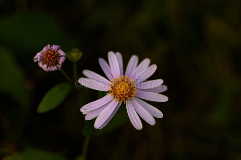 在黑暗的地面上的紫色雏菊 免版税库存图片