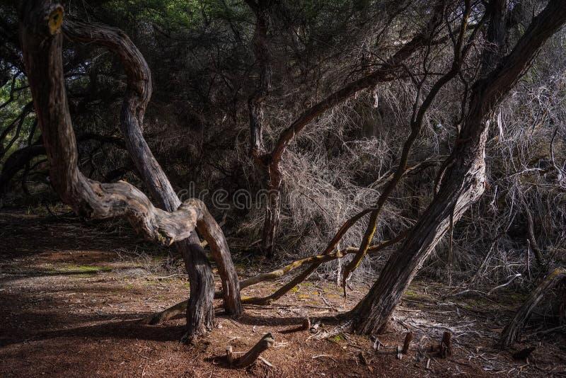 在黑暗的密林的死的树 免版税库存图片