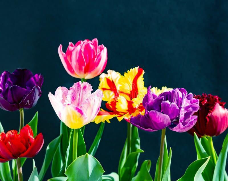 在黑暗的背景的五颜六色的郁金香花束 免版税图库摄影