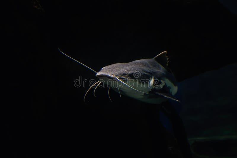 在黑暗的背景的大鲶鱼 巨大的鱼游泳在摄影师的海洋薄雾外面 对做广告,日历,盖子 免版税图库摄影