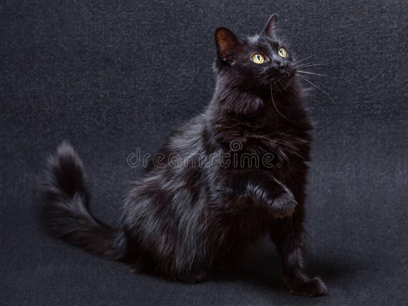 在黑暗的背景的嬉戏和好奇恶意嘘声 坐直和看与一个被举的爪子 免版税图库摄影