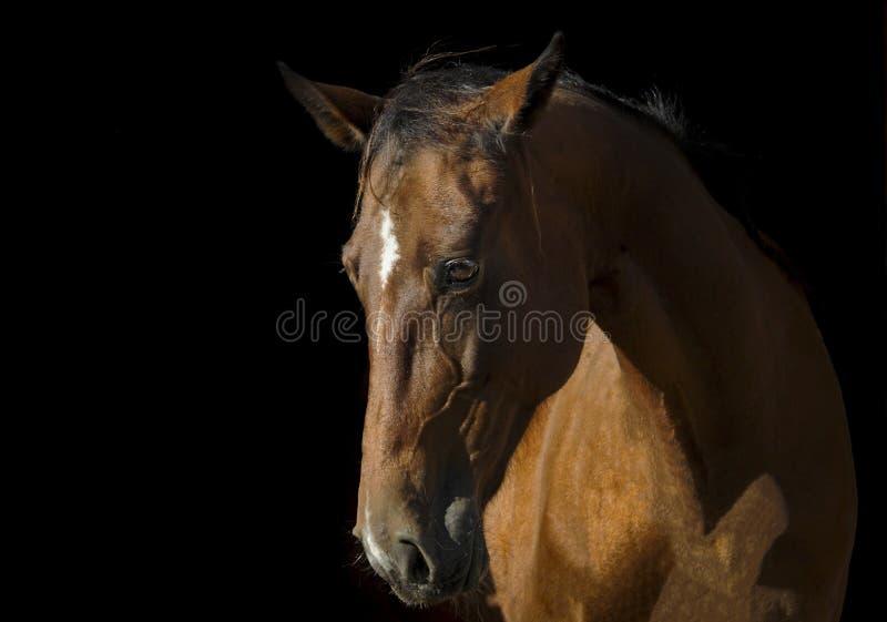 在黑暗的背景的棕色马画象 库存图片