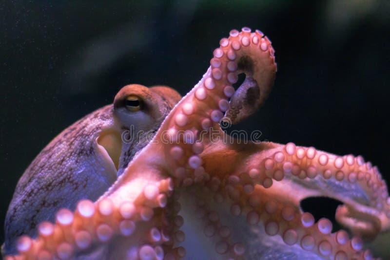 在黑暗的背景的章鱼 库存图片