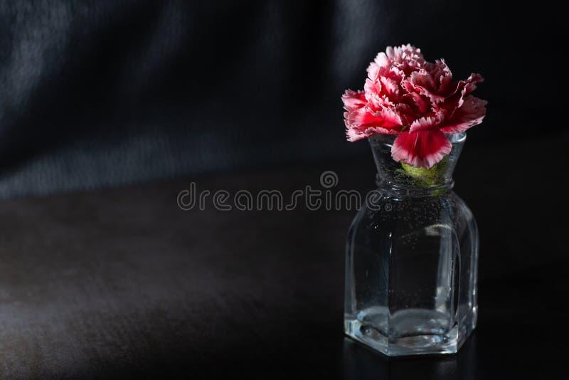 在黑暗的背景的红色和桃红色康乃馨 低调照明设备 免版税库存图片