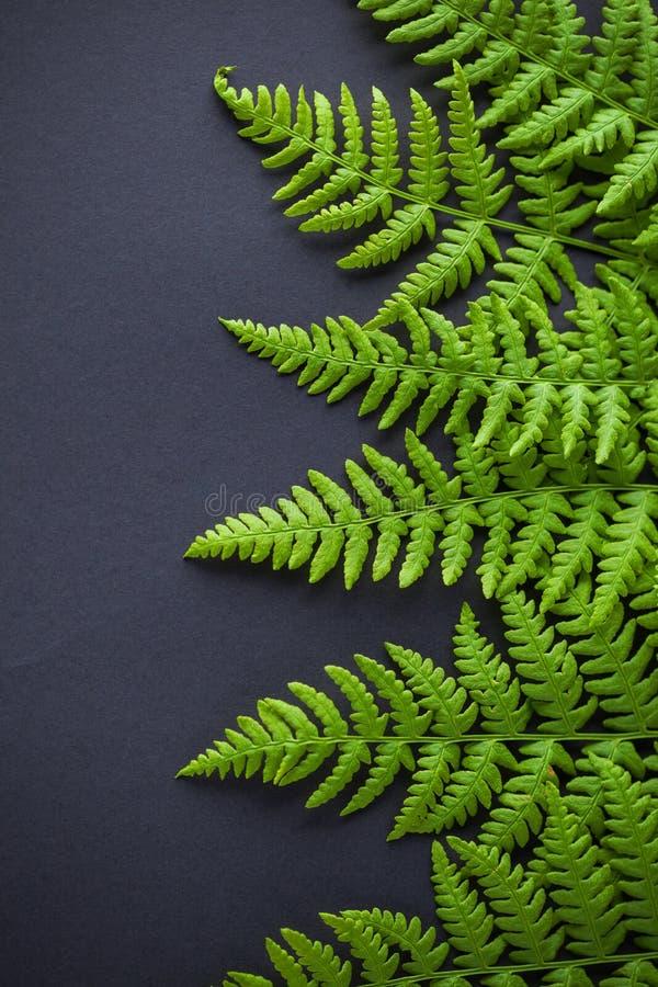 在黑暗的背景的绿色蕨 免版税库存照片
