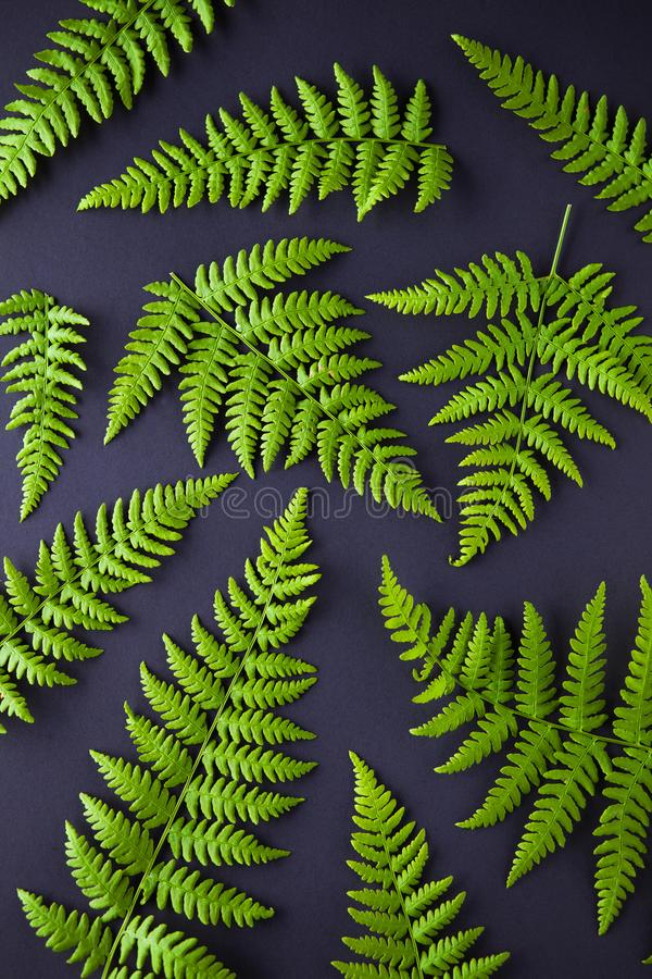 在黑暗的背景的绿色蕨 库存图片