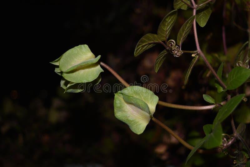 在黑暗的背景的绿色Cobaea芽 在开花前的植物 图库摄影