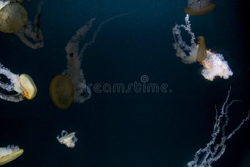 在黑暗的背景的美丽的五颜六色的水母在水族馆水母 墙纸,桌面,明信片 复制空间 免版税图库摄影