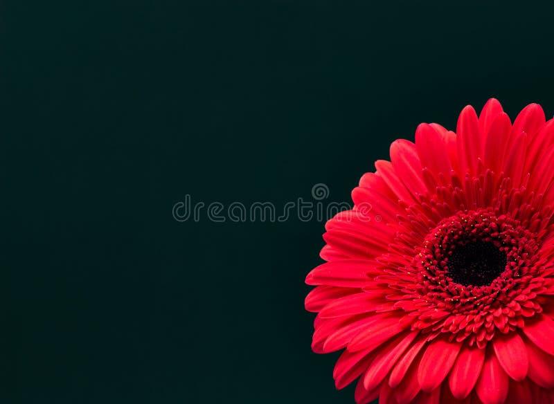 在黑暗的背景花卉背景的新鲜的红色大丁草特写镜头 免版税库存照片