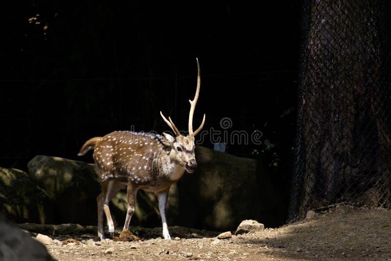 在黑暗的背景隔绝的鹿 免版税库存图片