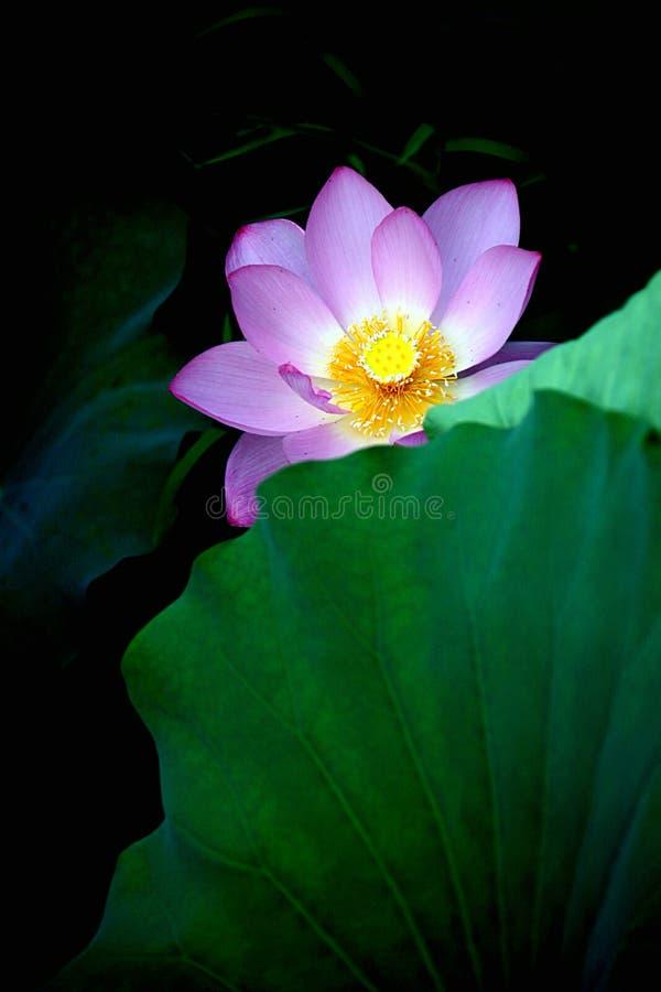 在黑暗的角落的一朵莲花 免版税库存照片