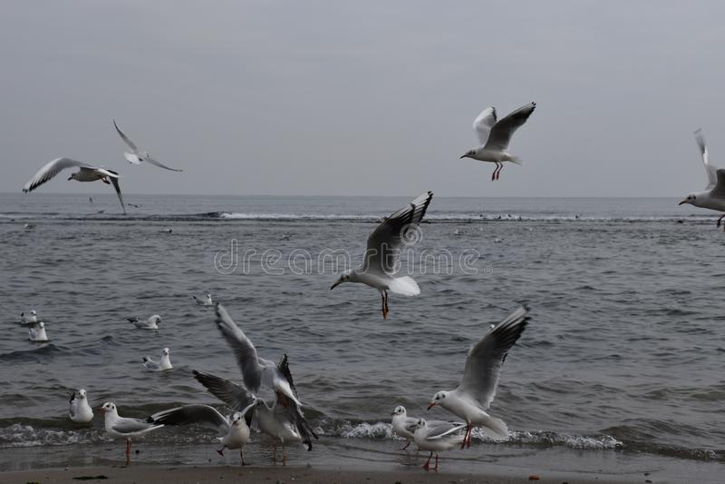 在黑海的海鸥,灰色天气,飞行 免版税库存照片