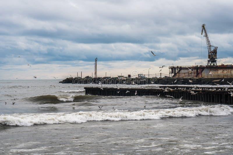 在黑海,波季,乔治亚的海鸥 免版税库存图片