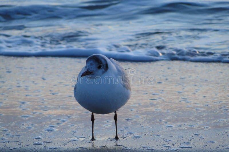 在黑海,由海滩的傲德萨的海鸥 库存照片