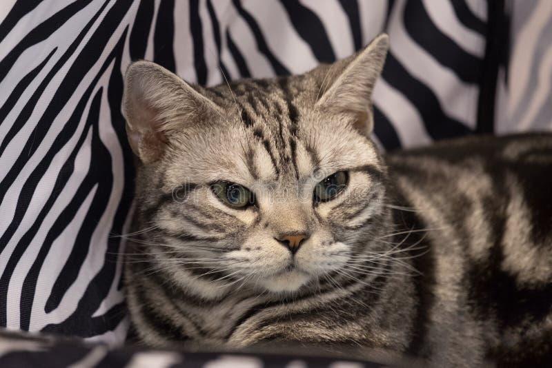在黑白双色的织品背景的成人英国shorthair银虎斑猫画象 免版税库存照片