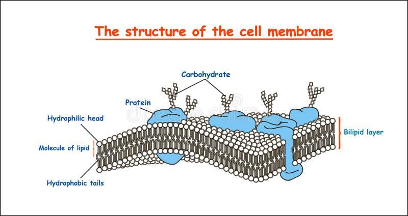 在黑白照片的细胞膜结构在被隔绝的白色背景 教育传染媒介例证 皇族释放例证