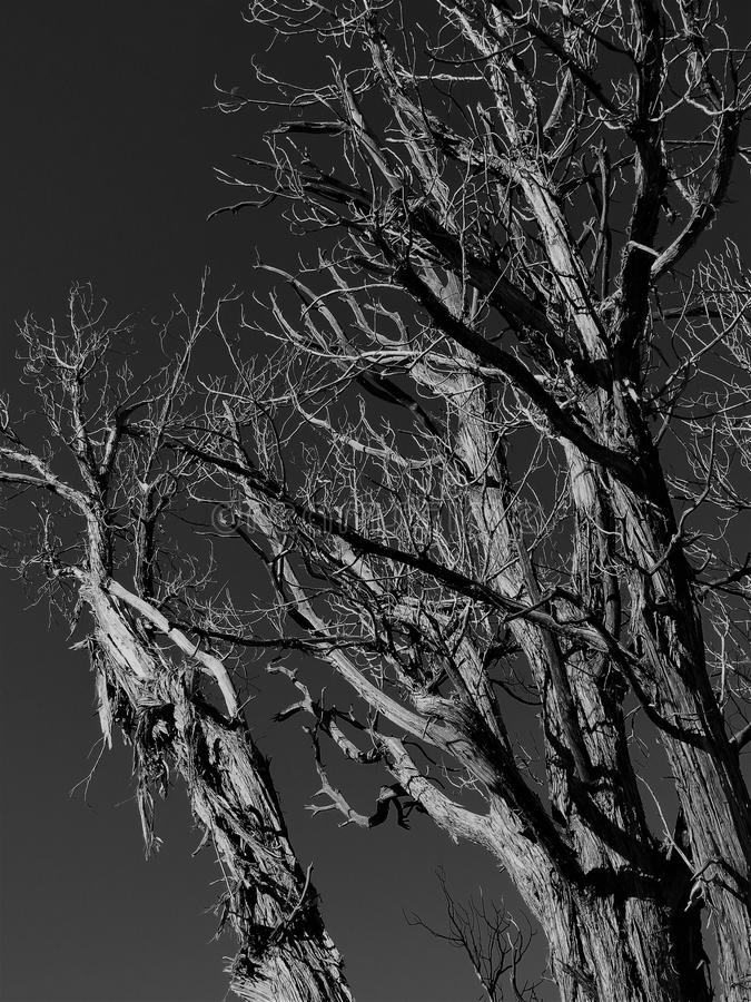 在黑白的坚固性老树 免版税库存图片