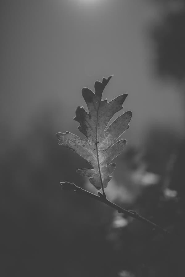在黑白的橡树叶子 橡木叶子剪影在阳光下有天空背景 免版税库存照片