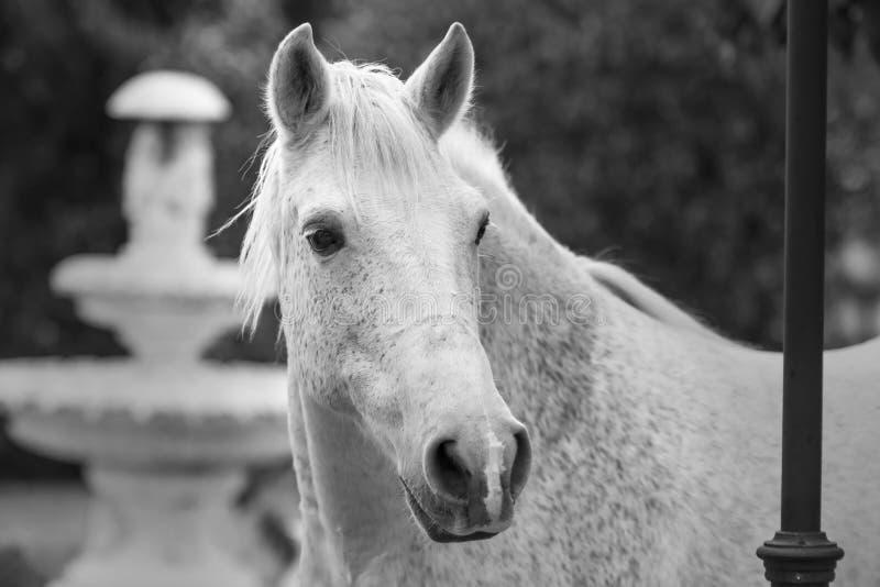 在黑白的画象一个白马在有一个喷泉的一个庭院里作为背景 免版税库存照片