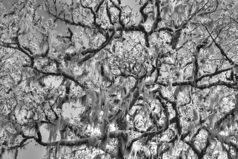 在黑白的研究一个古老橡树 免版税库存照片