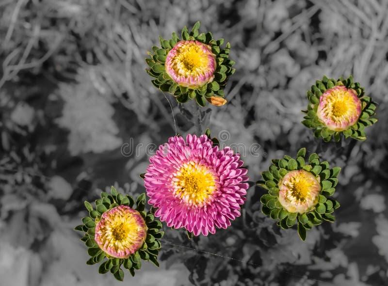 在黑白背景的五翠菊与拷贝空间 免版税库存照片