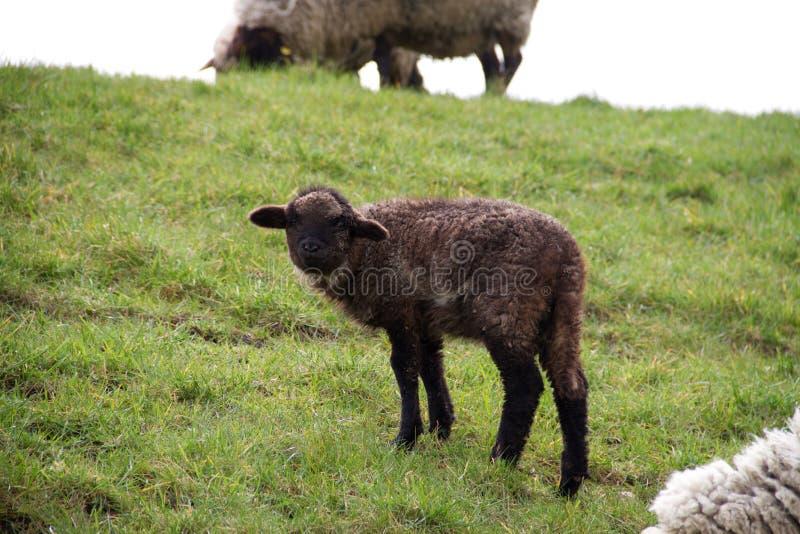 在黑的看法在一个草区域的一点绵羊在rhede emsland德国 免版税图库摄影