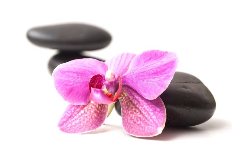 在黑石平衡的美丽的兰花在白色后面 免版税库存照片
