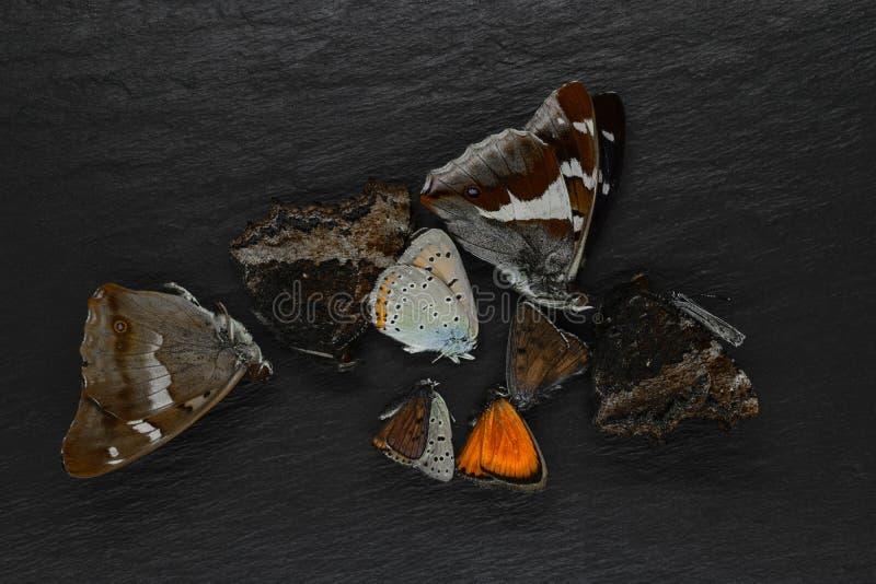 在黑石背景安置的干蝴蝶的抽象构成 免版税图库摄影