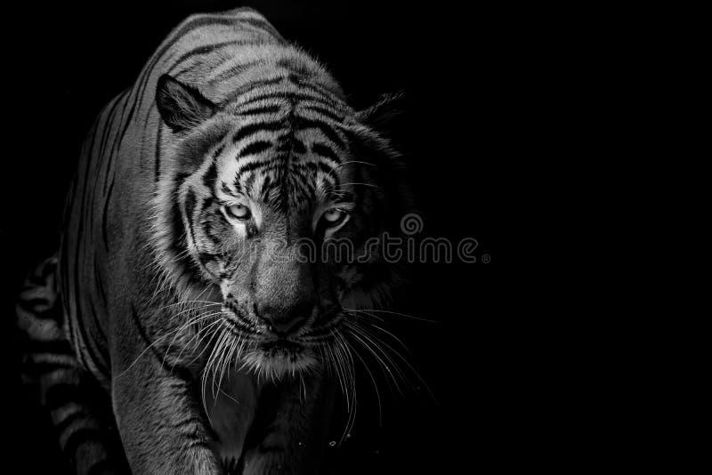 在黑背景前面的黑白老虎画象 库存照片