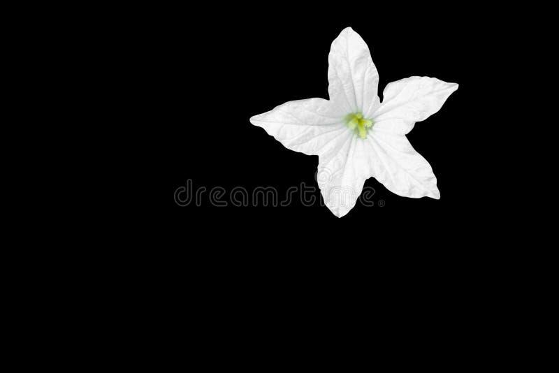 在黑背景和裁减路线隔绝的叶子的白色常春藤金瓜花 免版税库存图片