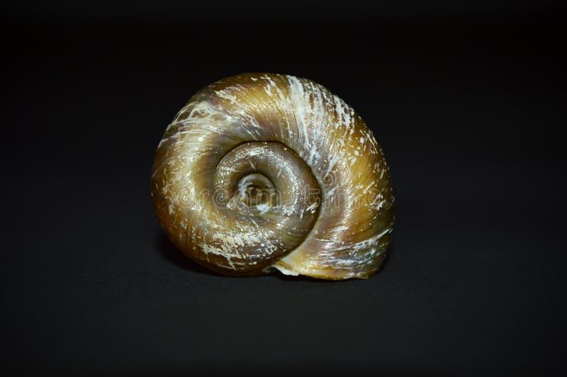 在黑背景扭转的海壳 免版税库存照片