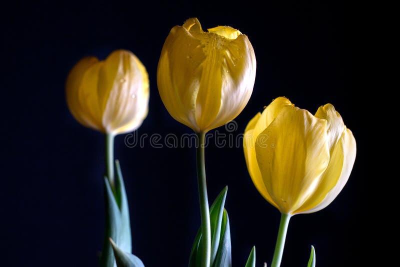 在黑背景的三黄色郁金香 免版税库存图片