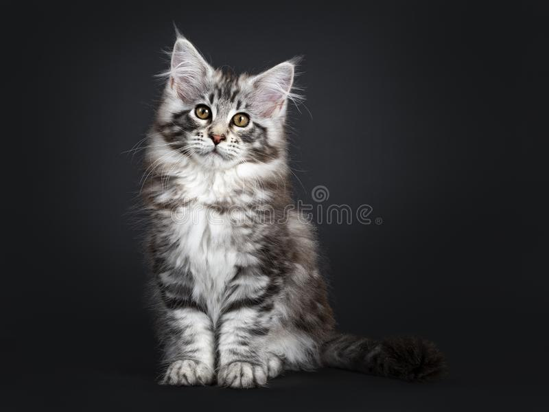 在黑背景的令人惊讶的逗人喜爱的缅因树狸猫小猫 免版税库存照片