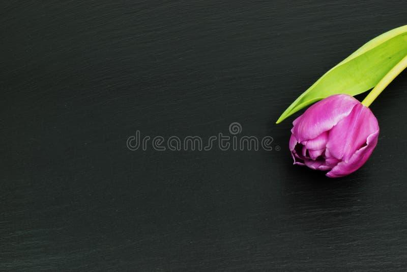 在黑背景的唯一桃红色郁金香 免版税库存图片