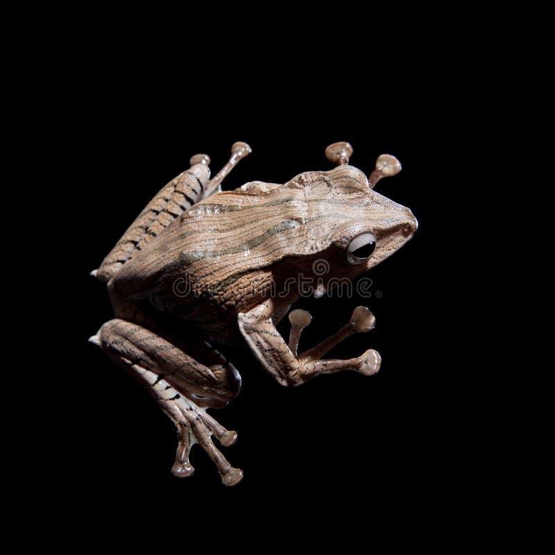 在黑背景的婆罗洲有耳的青蛙 免版税库存照片